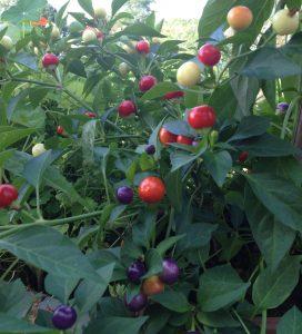 Chilipflanze Marbles